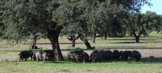 Blog ADNartesano - Jamón ibérico de bellota, recebo y cebo - Cerdos ibéricos en la dehesa