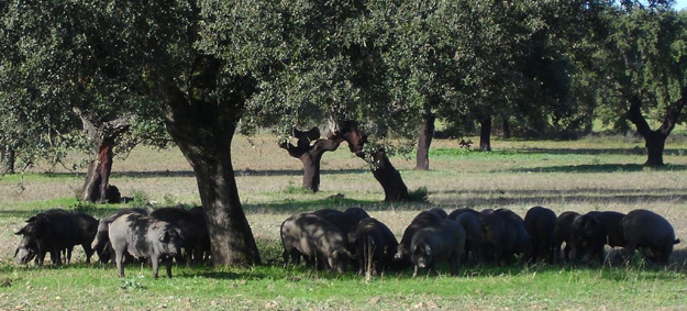 Blog ADNartesano - Calorías del Jamón Ibérico - Alimentación cerdo ibérico