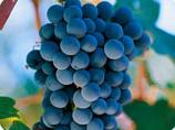 ADNartesano - Bodegas Laukote - La uva