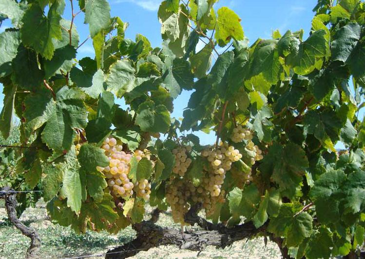 ADNartesano - Cavas Bolet - Viñas