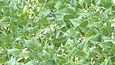 ADNartesano - Leguminor - Cultivo legumbres